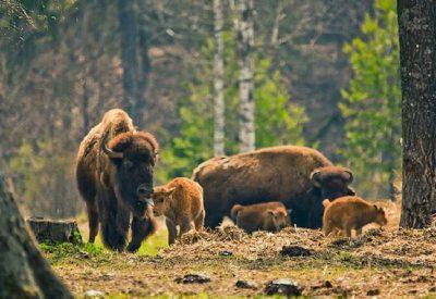 Экскурсия в питомник бизонов (Токсово)